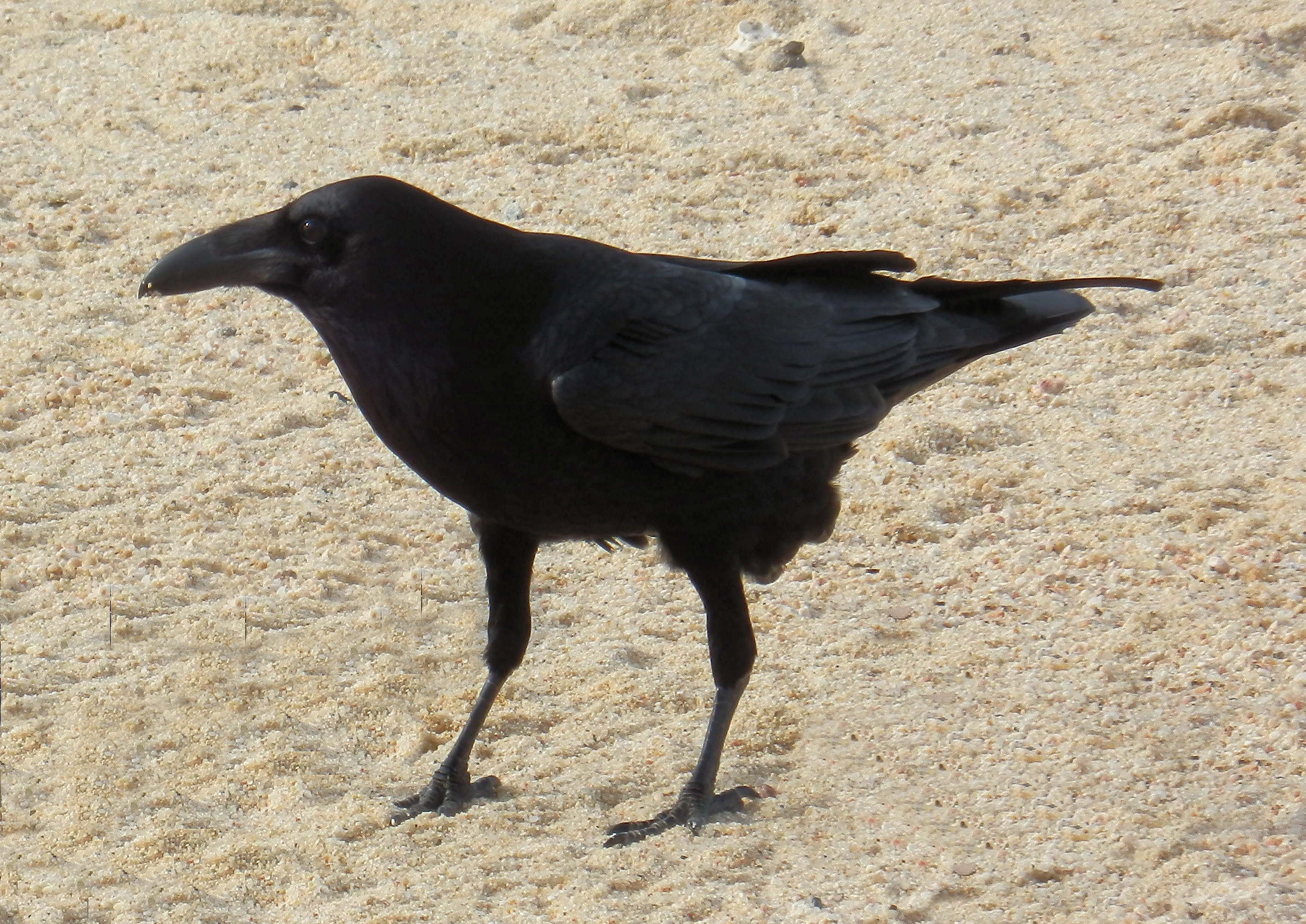 Common raven mexico fish marine life birds and for 1041 the fish