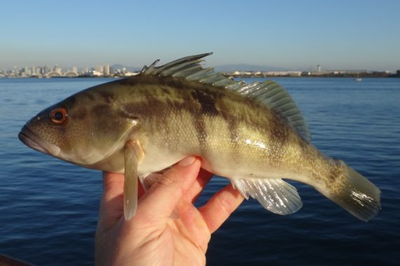 Barred sand bass mexico fish marine life birds and for Bass fishing san diego