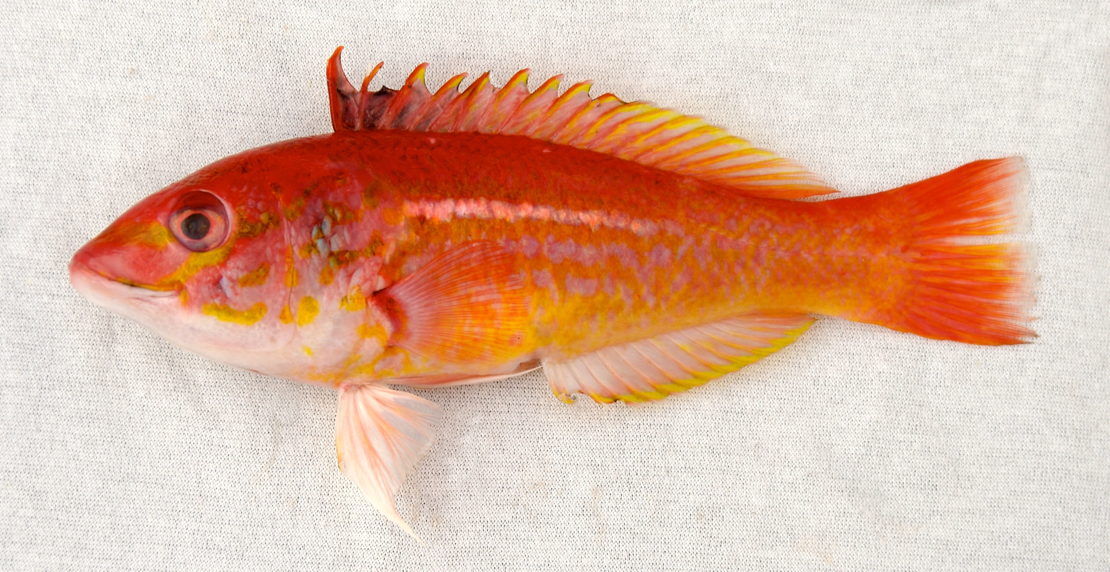 Bleeding Wrasse | Mexico – Fish, Marine Life, Birds and Terrestrial Life