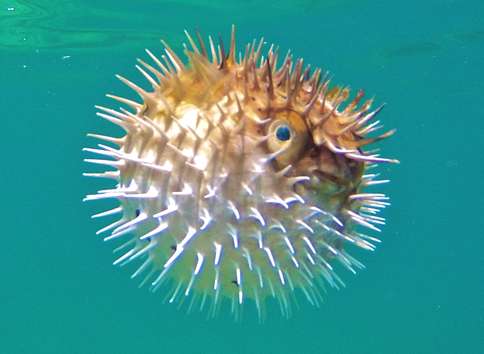 Balloonfish mexico fish marine life birds and for Fish in mexico