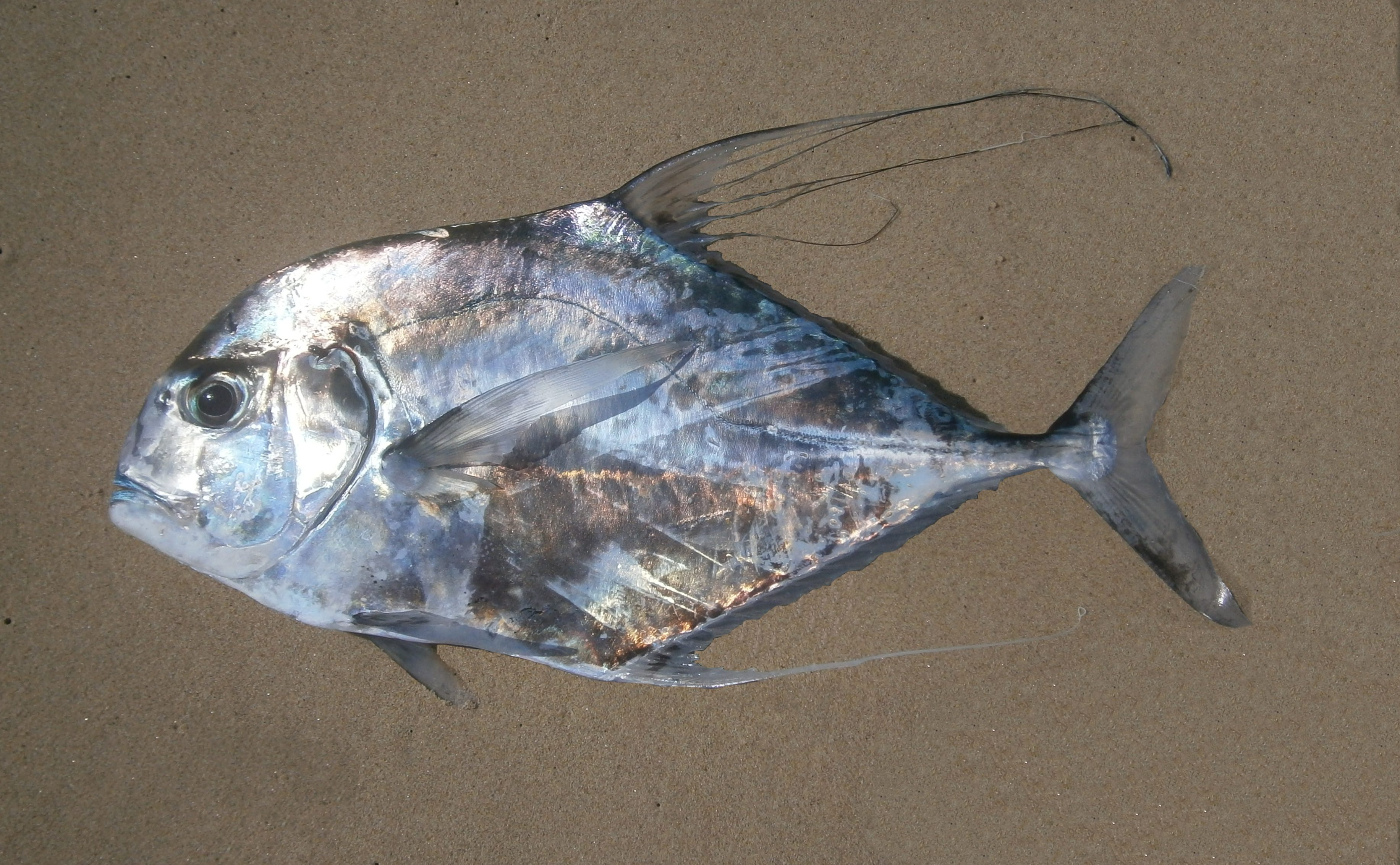 African pompano mexico fish marine life birds and for Picture of pompano fish