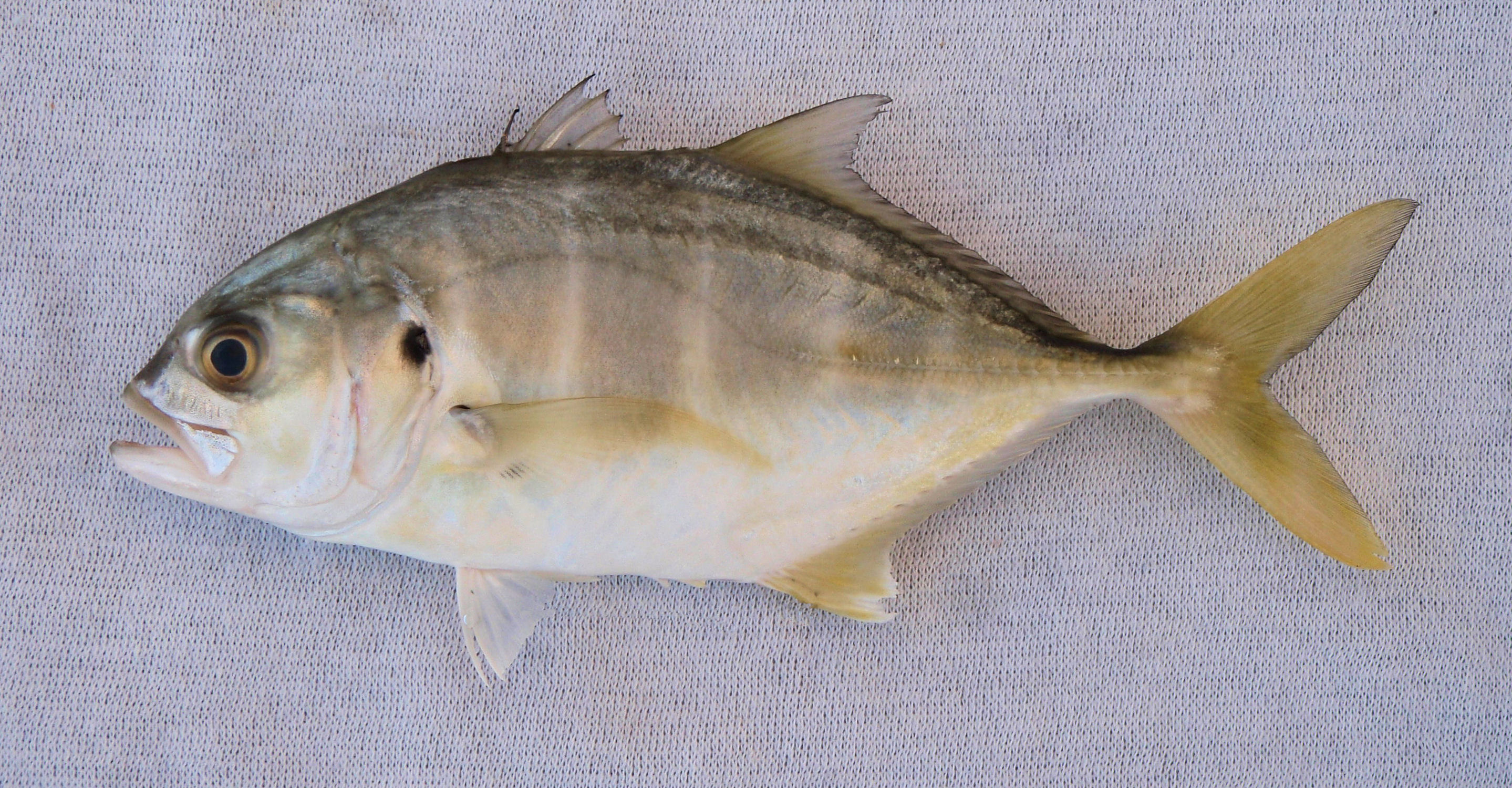 Pacific crevalle jack mexico fish marine life birds for What is a jack fish