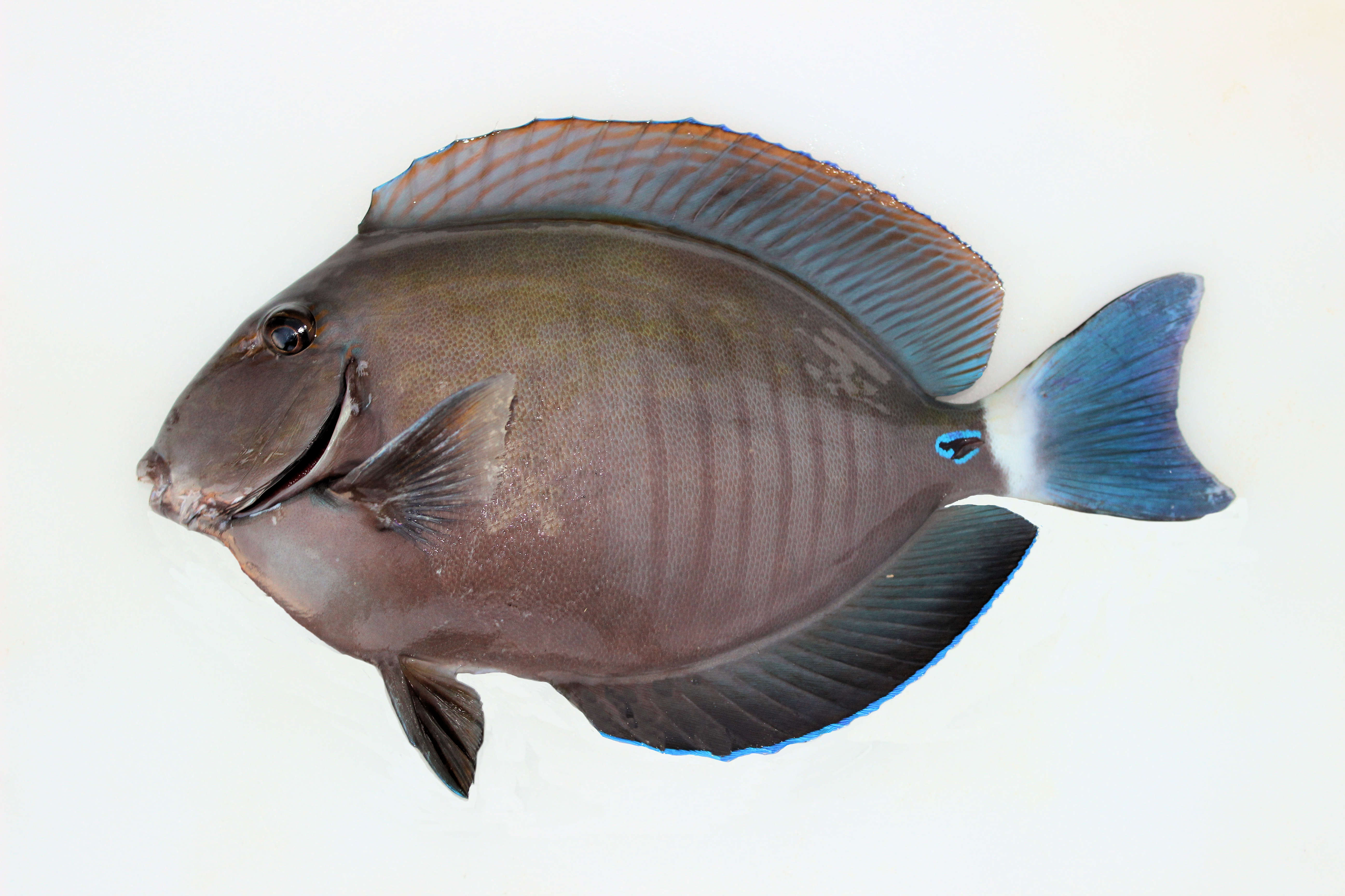 Doctorfish mexico fish marine life birds and for Fish in mexico