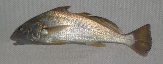 Golden croaker mexico fish marine life birds and for What is a croaker fish