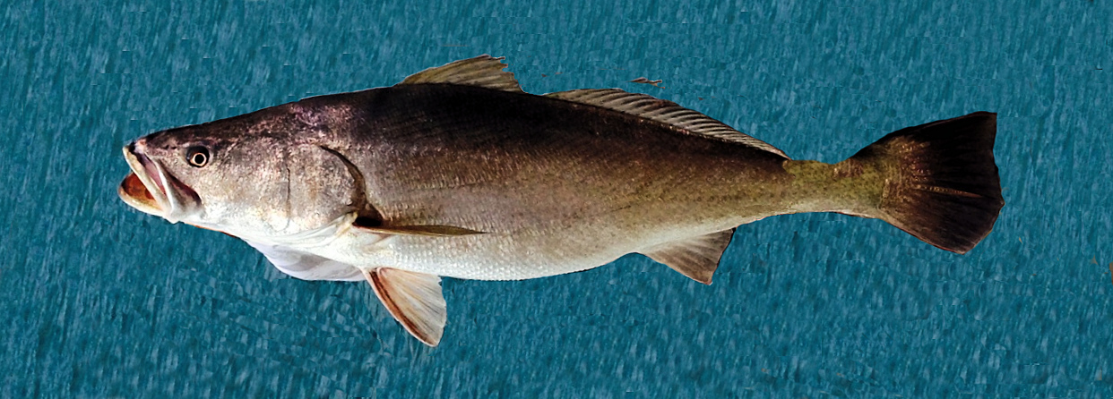 Totoaba Totoaba Macdonaldi Fish Caught From Coastal Waters Off San Felipe Baja California April  This Fish Was Released
