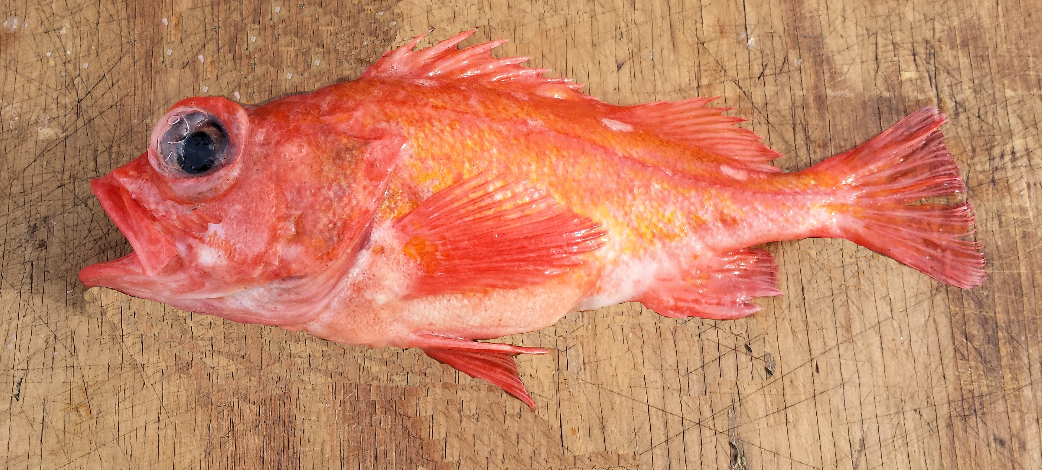 Pinkrose Rockfish | Mexico – Fish, Marine Life, Birds and ...