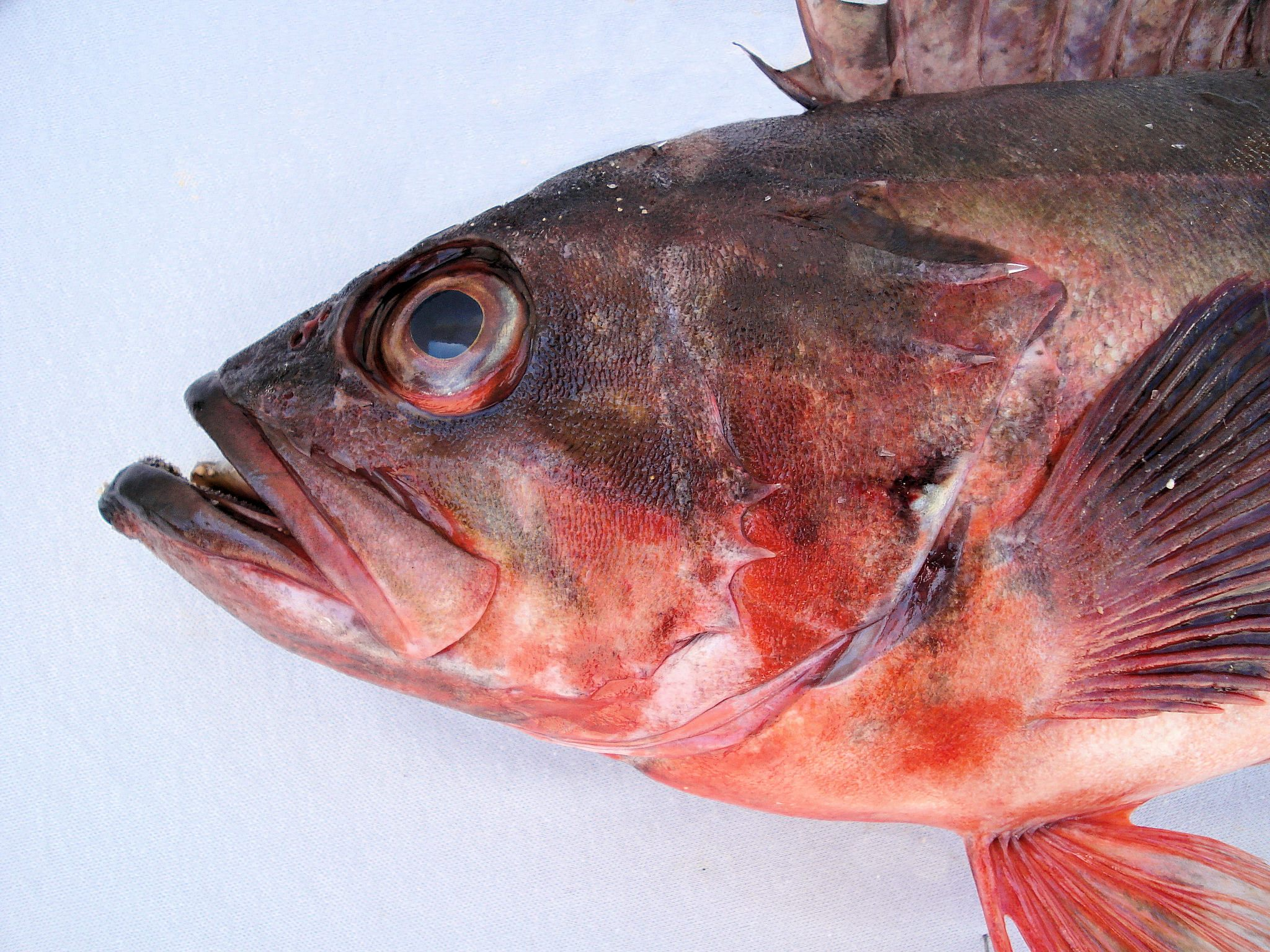 Mexican Rockfish | Mexico – Fish, Marine Life, Birds and Terrestrial ...