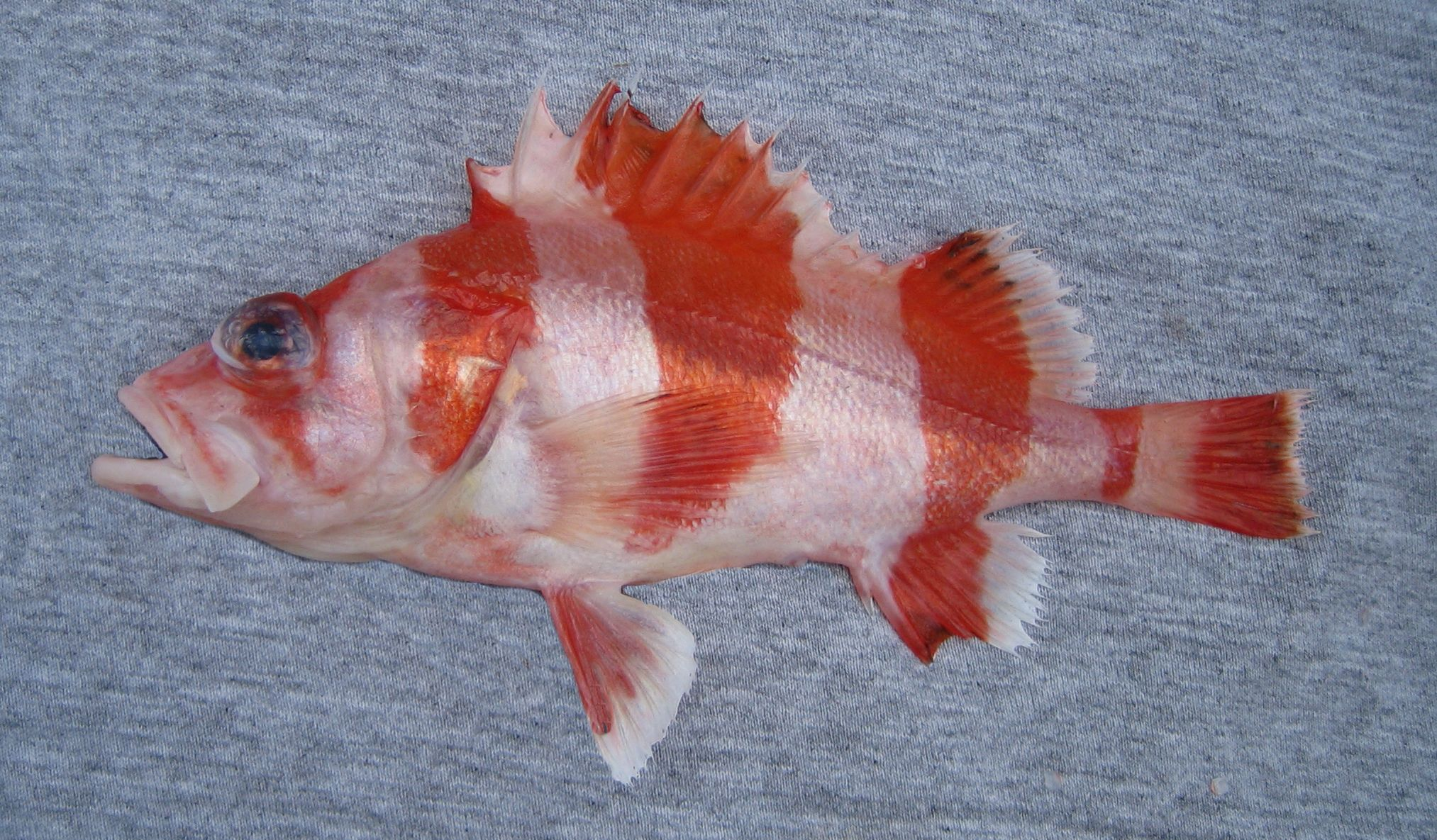 Flag Rockfish | Mexico – Fish, Marine Life, Birds and Terrestrial Life