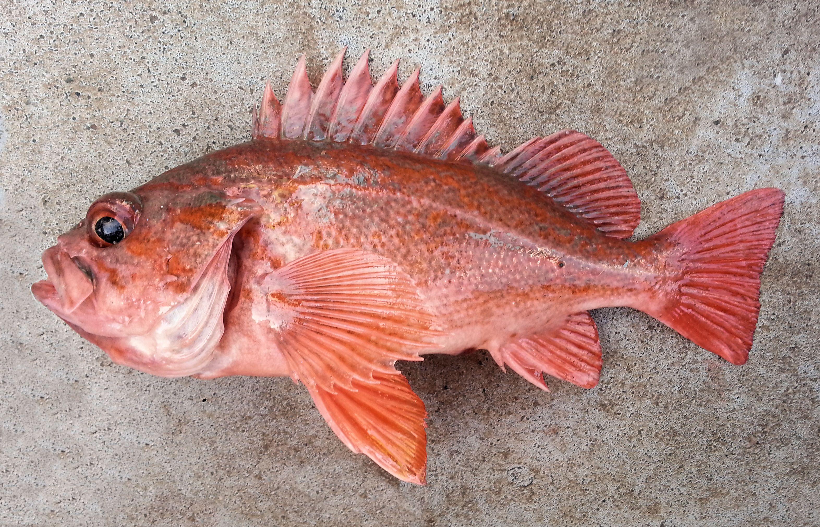 Vermilion Rockfish | Mexico – Fish, Marine Life, Birds and ...