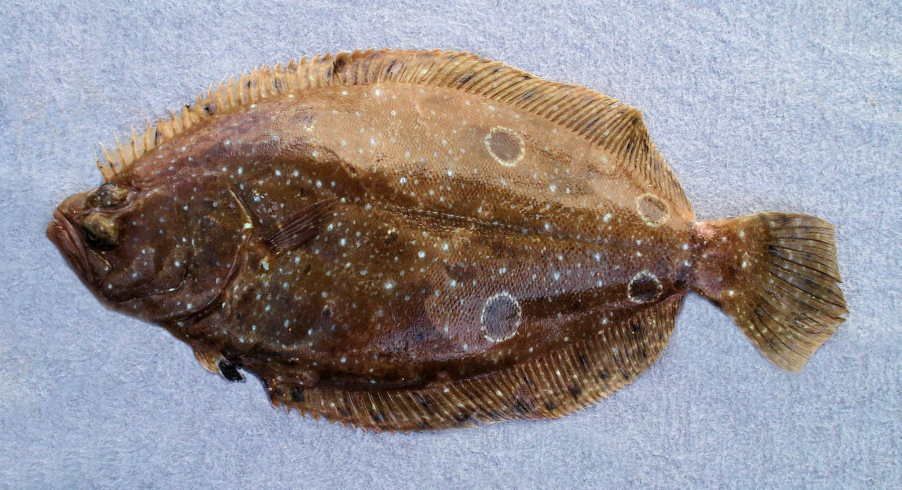 Foureye flounder mexico fish marine life birds and for Picture of a flounder fish