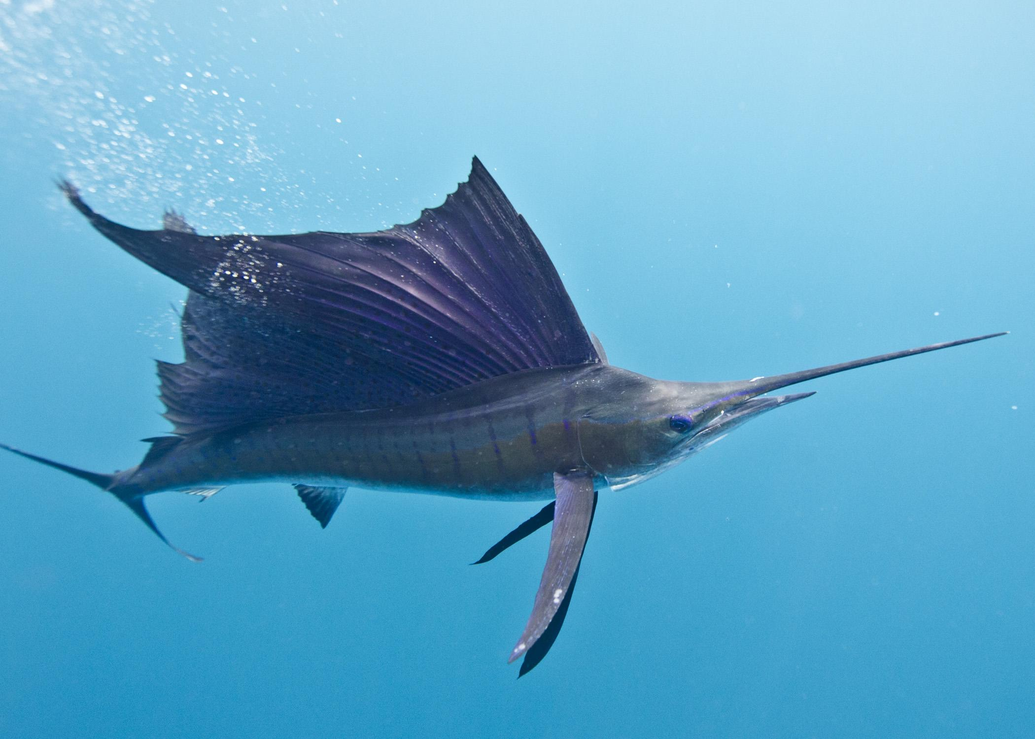 Sailfish on F Is For Fish