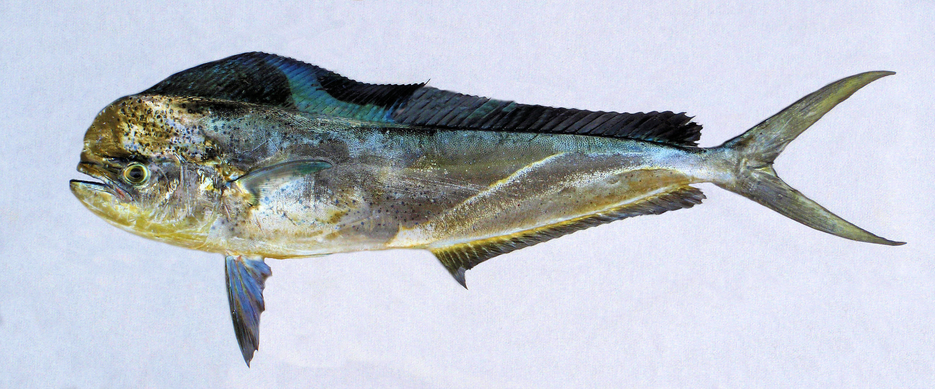 Dorado mexico fish marine life birds and terrestrial life fish caught from coastal waters off point palmilla baja california sur november 2012 fork length 112 meters 3 feet 8 inches nvjuhfo Images