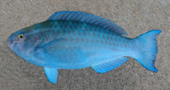 Blue parrotfish mexico fish marine life birds and for Blue fish florida