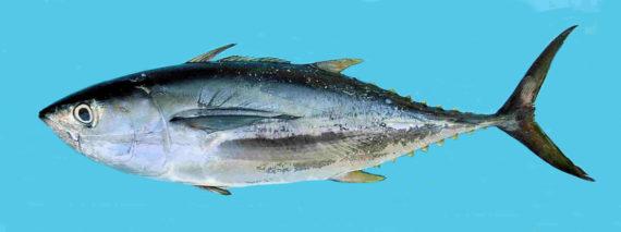 Yellowfin tuna mexico fish marine life birds and for Tuna fishing california