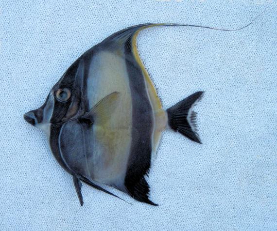Moorish idol mexico fish marine life birds and for Moorish idol fish