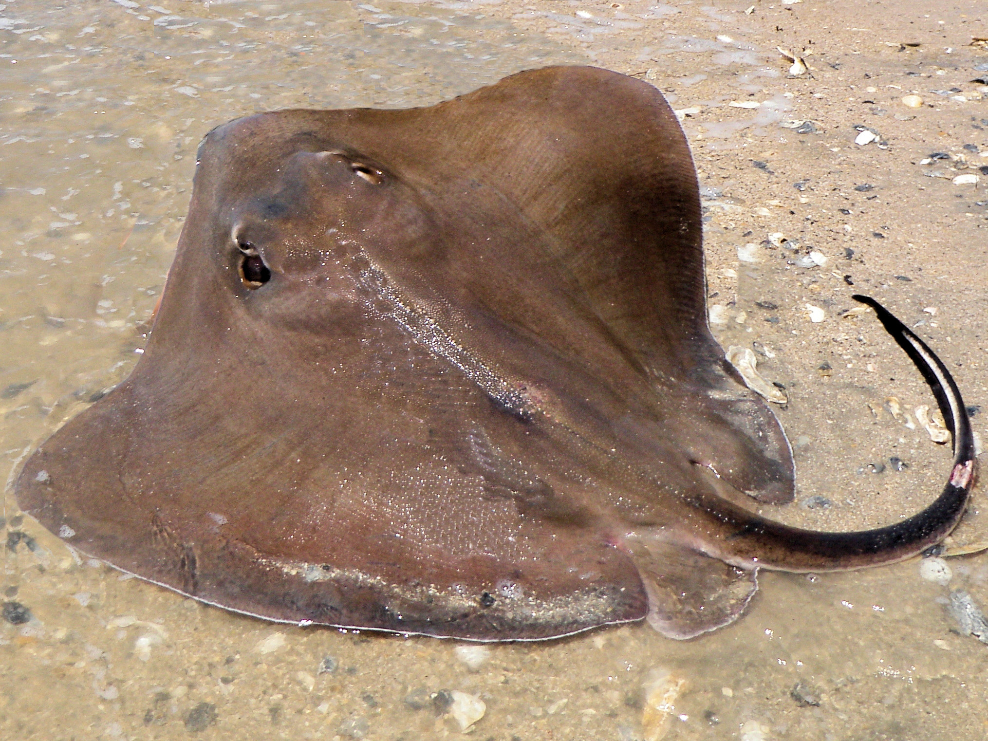 Southern stingray mexico fish marine life birds and for Is a stingray a fish