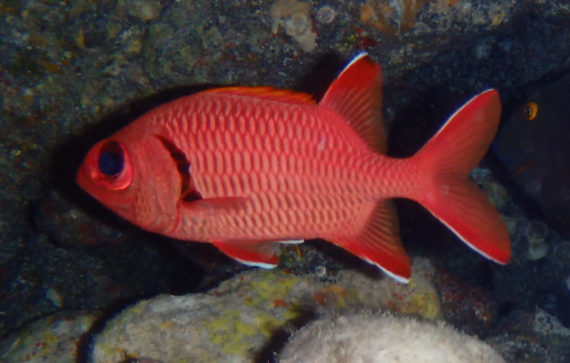 Squirrelfish family photos and information holocentridae for Big eye squirrel fish