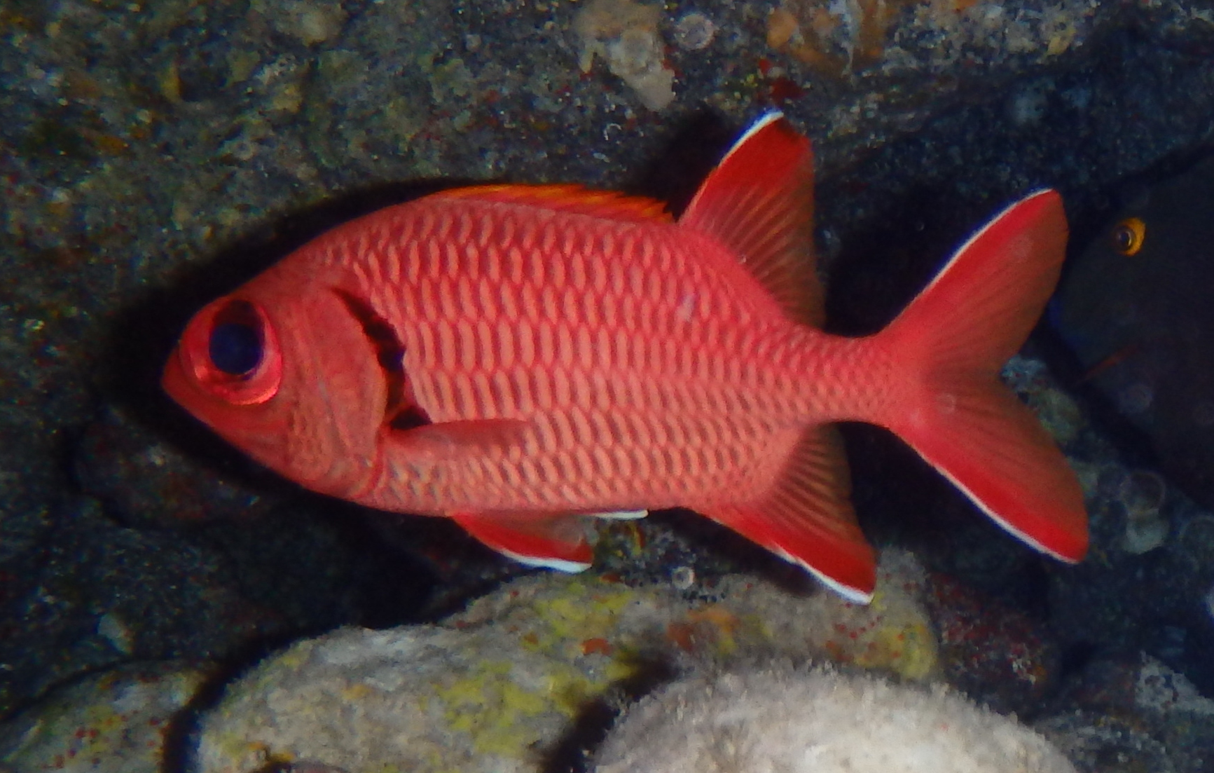 Bigscale Soldierfish | Mexico – Fish, Marine Life, Birds and ...